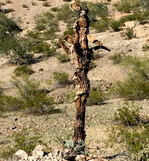 dead saguaro shaped like a scarecrow