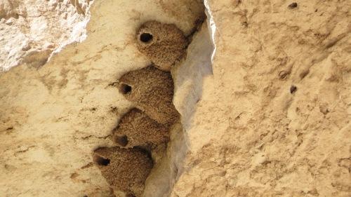 cliff swallow nests montezuma