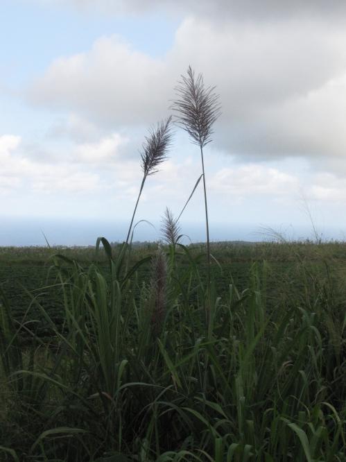 grasses big island hawaii