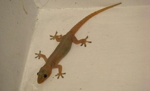 gecko fiji