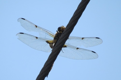 dragon fly 1