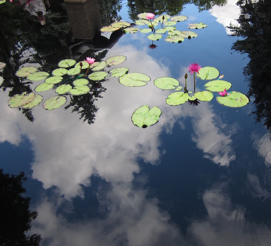 water lilies and cloud reflection