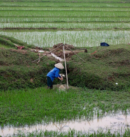 farmer irrigating rice paddy in vietnam