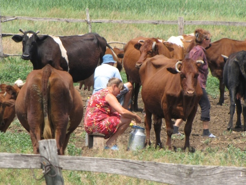 farmers milking cows in ukraine