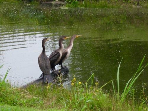 herons hecla island