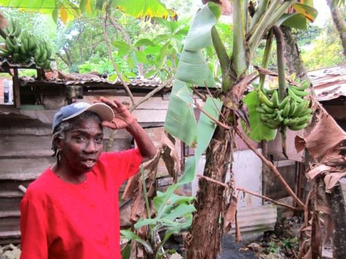 jamaican farmer with her banana tree