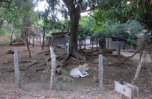 cow-costa-rica