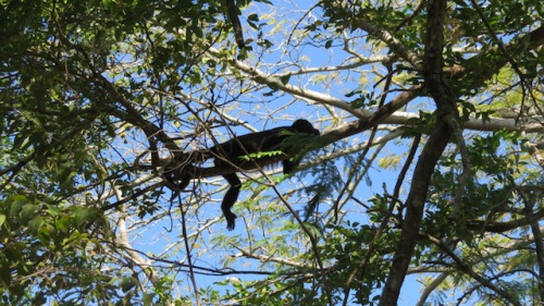 howler monkey costa rica