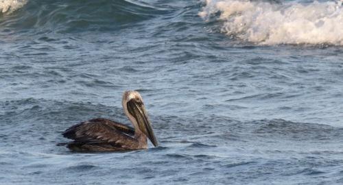 brown-pelican-tamarindo