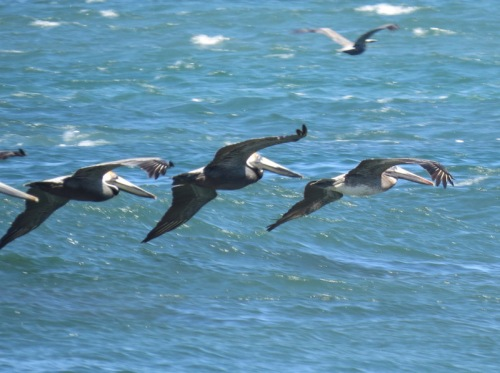 Morning flight of pelicans at Isle De Capitan