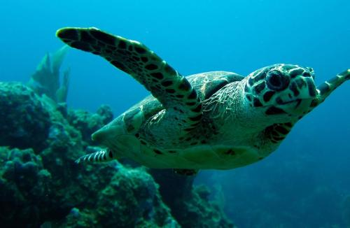 hawksbill turtle public domain