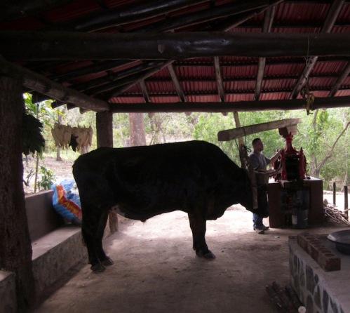 oxen-grinding-sugar-cane-costa-rica