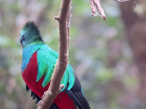 quetzal 3 costa rica