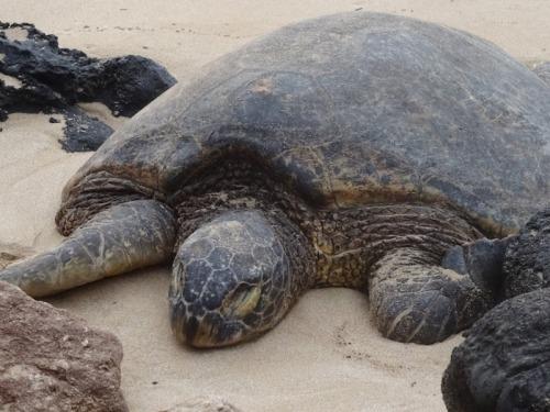 ralf-beck-sea-turtle-public-domain