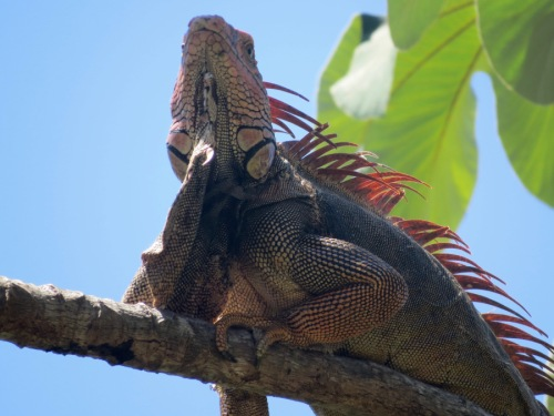 red-iguana-wattle1