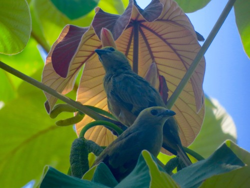 Palm Tanagers photographed in Costa Rica