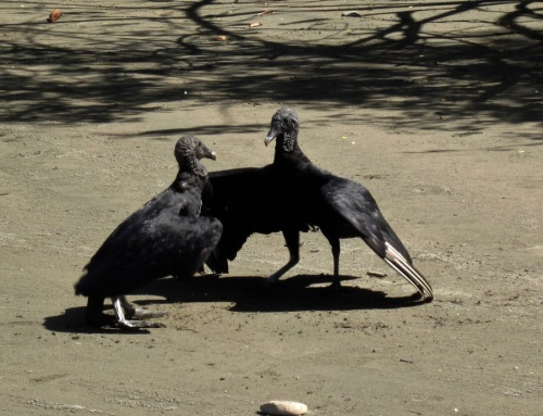 vultures-talking-on-the-beach