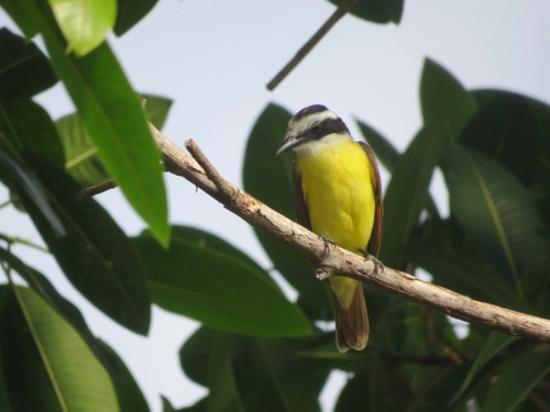 yellow bird-costa-rica