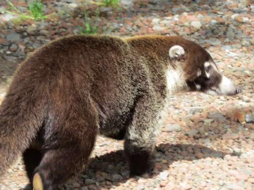 white faced coati
