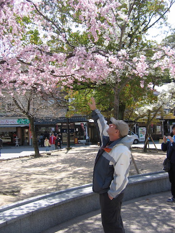 cherry blossoms in hiroshima