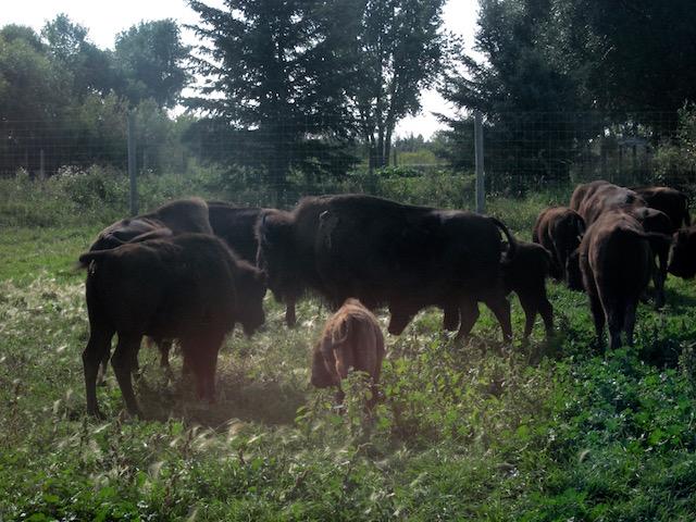 bison-herd