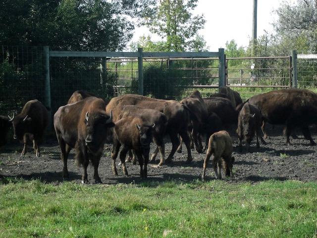 bison fort whyte