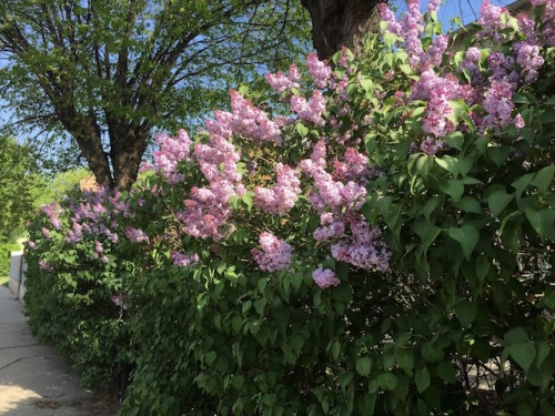 selkirk street lilacs