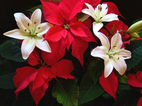 poinsettia-and-lilies-sandy-keeton