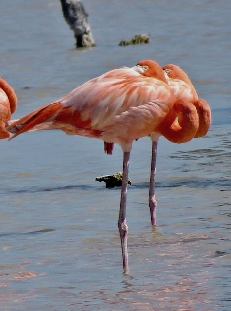 a flamingo pair in mexico