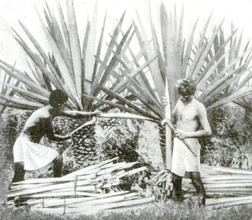 Harvesting-Henequen-Popular-Science-1922