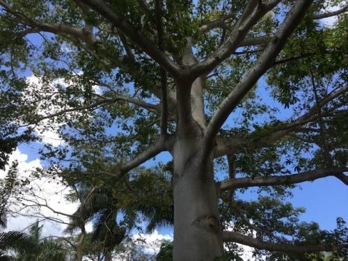ceiba tree mexico