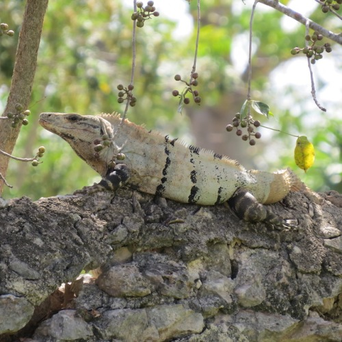 iguana yucatan