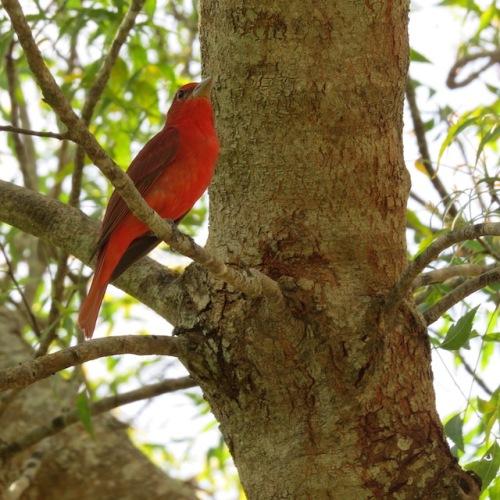 red bird merida