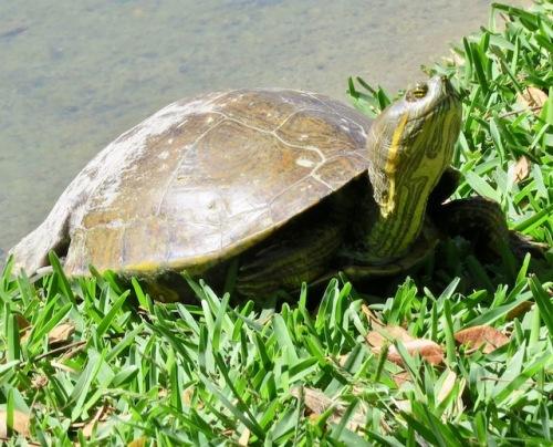 turtle le ceiba